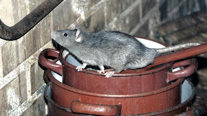 Крысы используют любые доступные лазейки для того, чтобы проникнуть в помещение, где хранится что-либо съестное