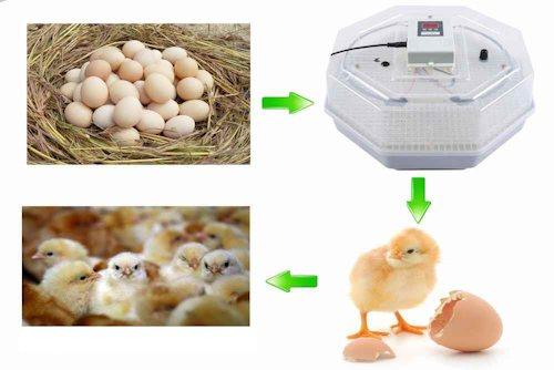 Вам остается только ждать, когда из яиц вылупятся цыплята