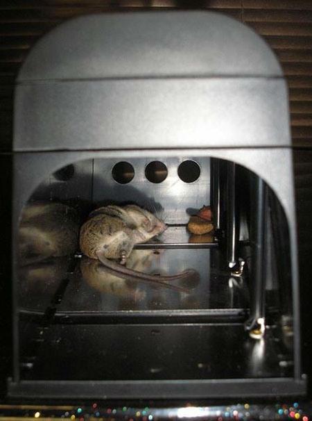 Электронная мышеловка Antirats-190 убивает вредителя гарантированно и мгновенно — как видно на фото, мышь была ликвидирована настолько быстро, что даже не успела съесть приманку