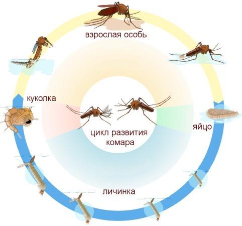 """Цикл развития комара: убивая личинок, """"Биоларвицид-100"""" разрывает этот """"порочный круг""""!"""